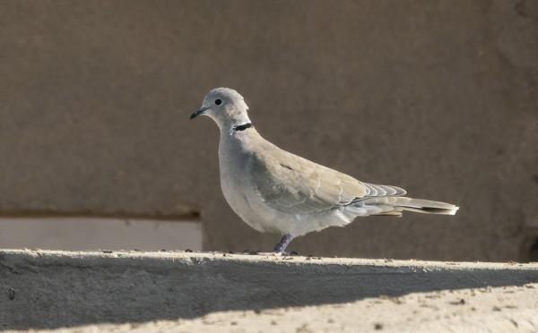 SAHARANTURTURIKYYHKYN (African Collared Dove) NÄKÖISIÄ KYYHKYJÄ OLESKELEE PIENI PARVI HURGHADAN PUHDISTAMOLLA - PUHTAANVALKOINEN ALAPERÄ ON HUOMIOTAHERÄTTÄVIN TUNTOMERKKI